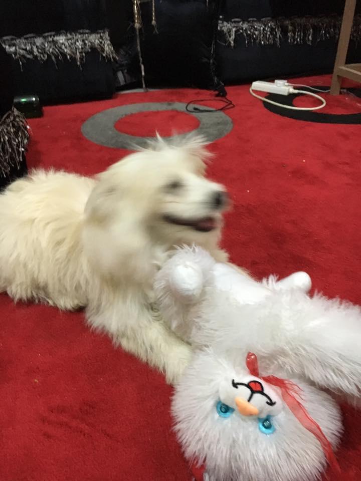كلب رائع للبيع الرياض  13221110