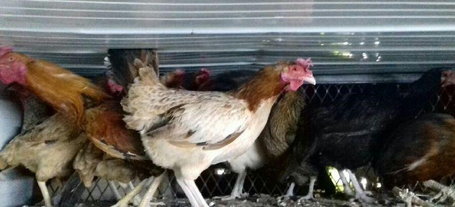 دجاج بلدي بياض للبيع 2021 1331
