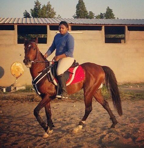 حصان عربي شعبي فحل للبيع 1335