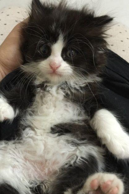 قطط كيتنز شهر ونص للبيع ذكر و 2 إنات 146