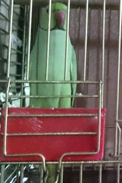 جوز طيور درة  جميلة منتج للبيع بمكه 147