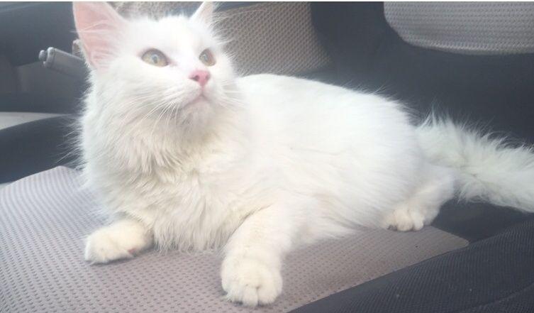 قطه جميلة ولعوبه للبيع بأبها   155
