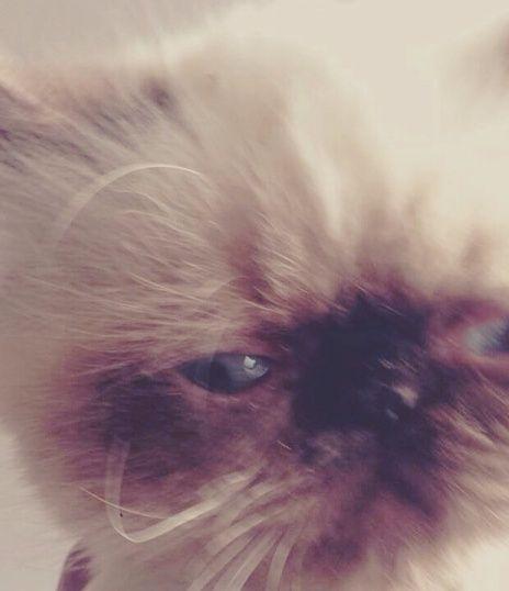 قطة هملاي هوت شوكليت بيكي فيس للبيع 162