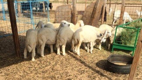 6 طليان و 6 رخال مكمله شحم ولحم للبيع 163