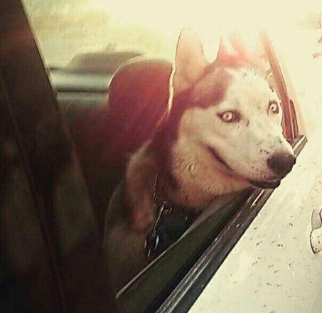 كلب هاسكي جميل للبيع بسعر مغري  168