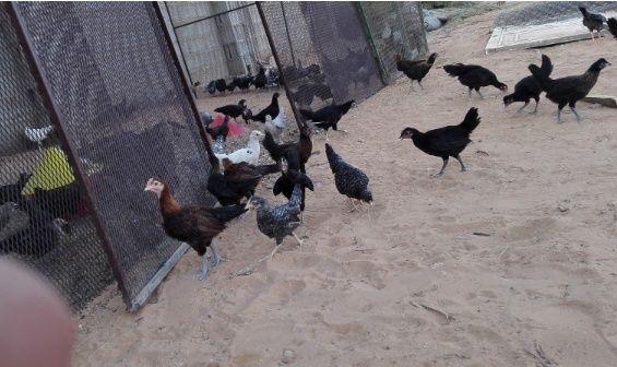 دجاج بشاير، سود صك وفيومي للبيع 172