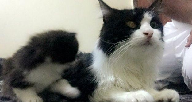 قطة شيرازيه جميلة مع 3 اولاد بالدمام للبيع 183