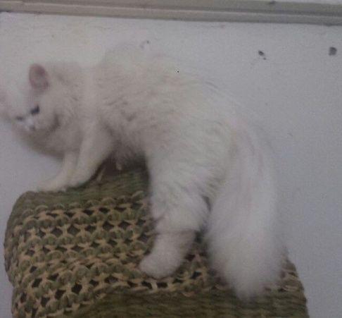 قطة انثي شيرازية للتنبي بالقصيم 198