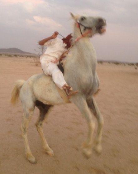 حصان شعبي طيب للبيع 2103