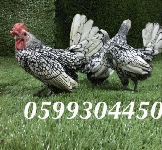 دجاج سبرايت الرائع للبيع 2113