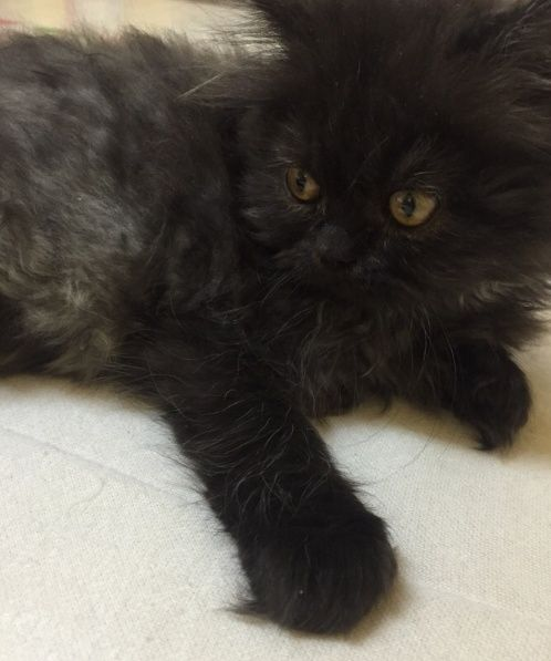 قطة صغيرة جميلة و لعوبة للبيع 2118