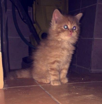 زوج قطط شيرازيه للبيع  2138
