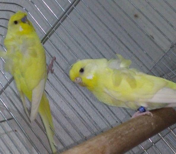 جوز طيور هوقو أصفر للبيع   2143