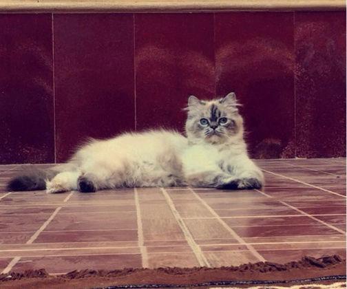 زوج قطط هملايا للبيع بسعر مغري  2163