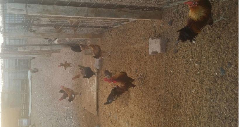 اكثر من اربعين دجاج بلدي منتج للبيع 2166