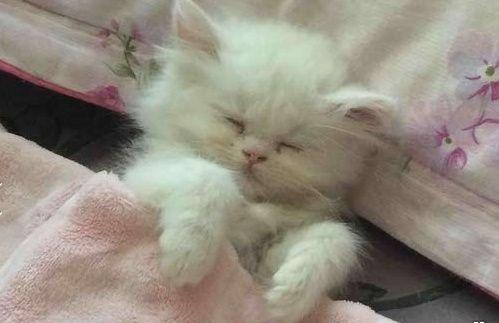للبيع قطه شيرازي مون فيس بيضاء اللون  217