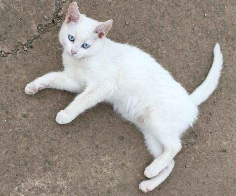 قطط شيرازية فرنسية للبيع 2180