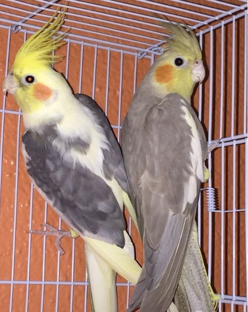 زوج طيور كروان للبيع 2181