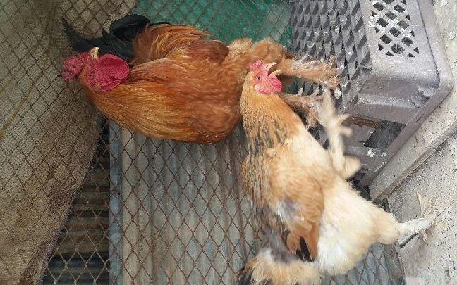 زوجين دجاج براهمه للبيع 2021 2193