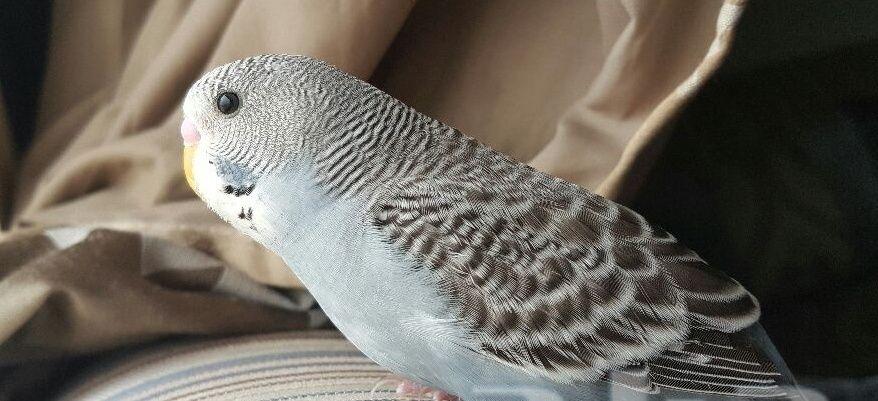 3 طيور بادجي جميلة للبيع 2206