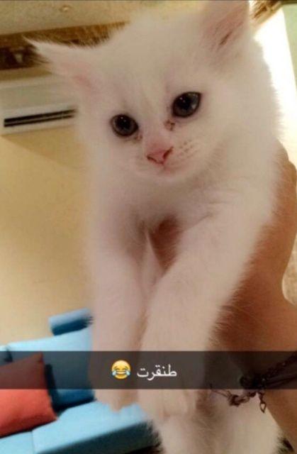 قطة شيرازي مون فيس انثى للبيع جده  2207
