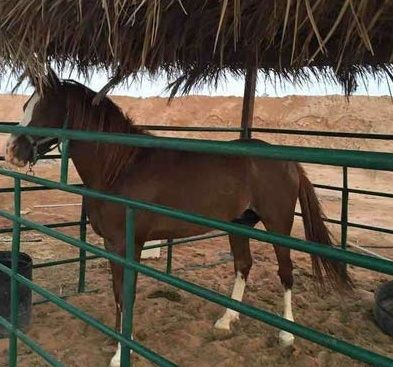 حصان شعبي جميل للبيع 2210