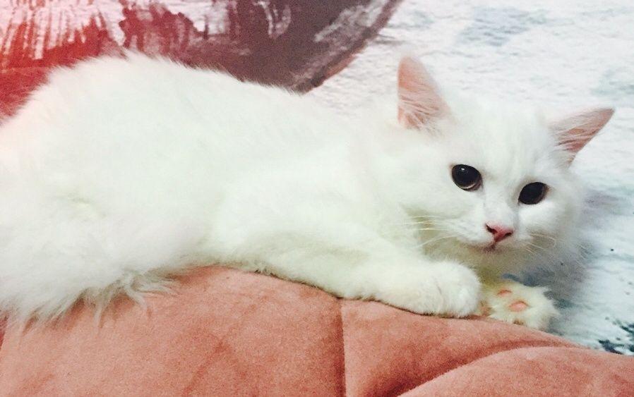 قط شيرازي ابيض جميل للبيع 2229