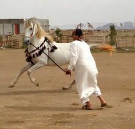 حصان اصفر سباقات وطرب ممتاز و جميل 223