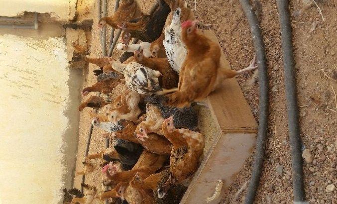 دجاج بلدي للبيع العمر شهرين 2230