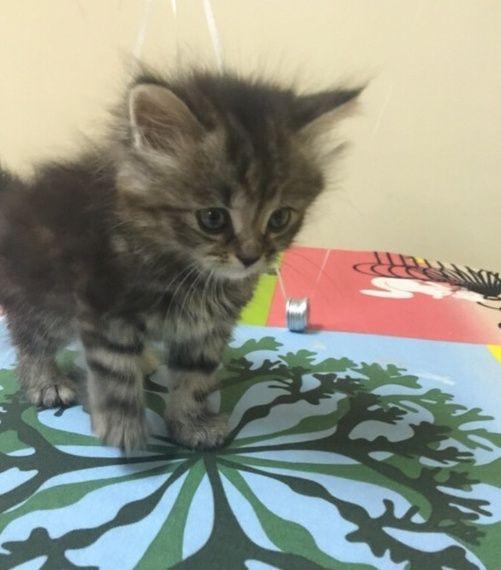 قطة شيرازيه انثى صغيرة للبيع 2243
