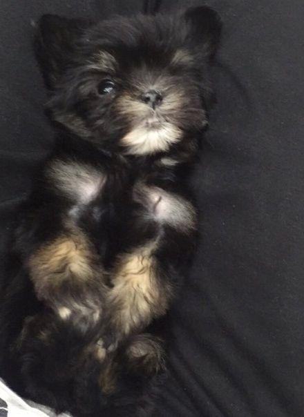 كلبة يورك شاير صغيرة للبيع بالرياض  2247