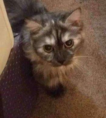 قطة شيرازي للبيع 226