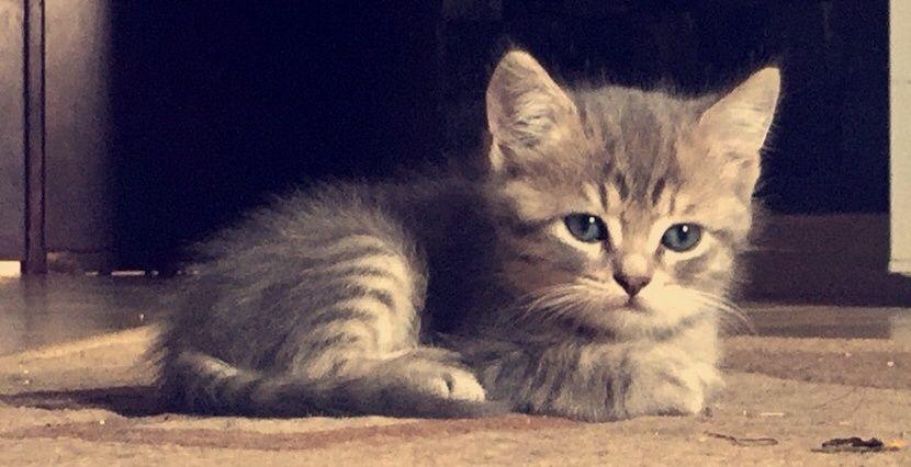 قطط شيرازية صغيرة للبيع 2265