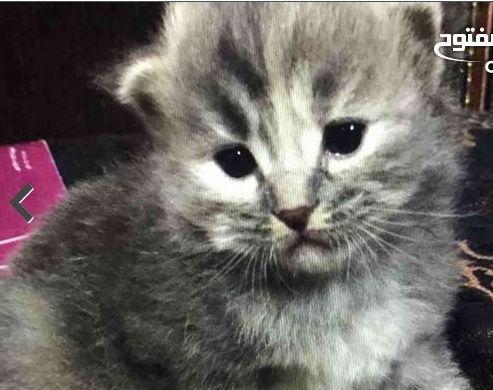 قطة جميلة للبيع بالدمام 227