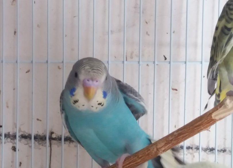 فروخ طيور بادجي للبيع 2021 2277