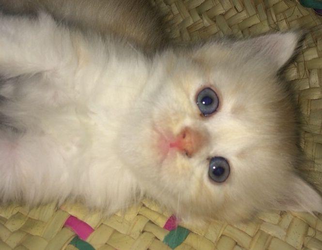 صور قطط صغيرة رائعة للبيع بجدة 229