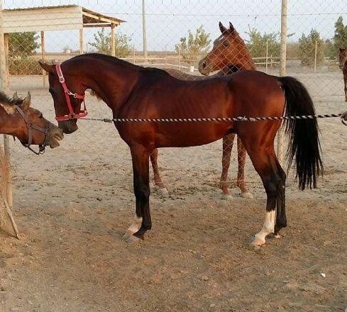 حصان عربي شعبي فحل للبيع 2291