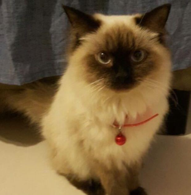 قطه انثى سيامي حامل من قط راغدول للبيع 2293