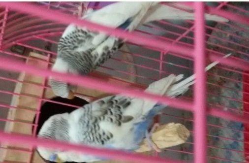 زوج طيور بادجي جميلة جاهز للإنتاج 236