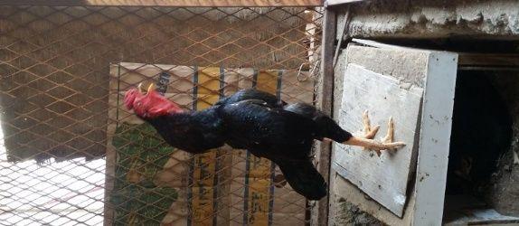 دجاج باكستاني  و صيصان للبيع بالجمله  253