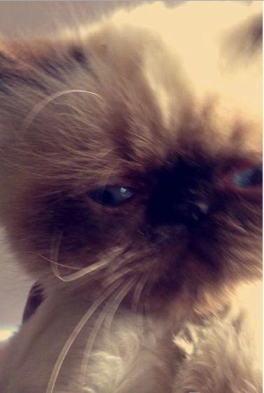 قطة هملاي هوت شوكليت بيكي فيس للبيع 254