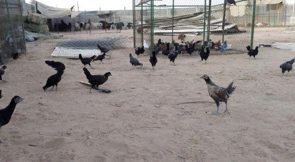 دجاج بشاير، سود صك وفيومي للبيع 264