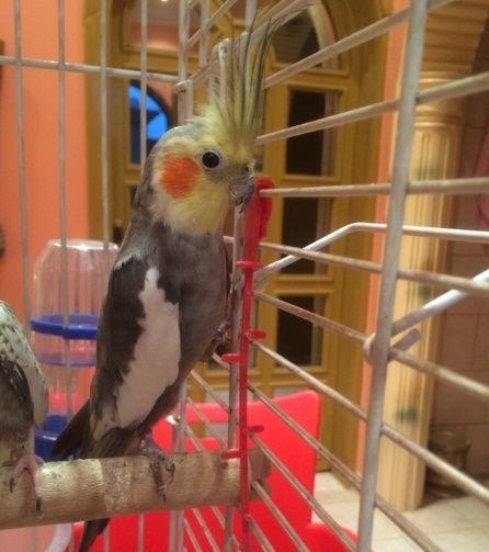 ذكر طائر كروان منتج للبيع 273