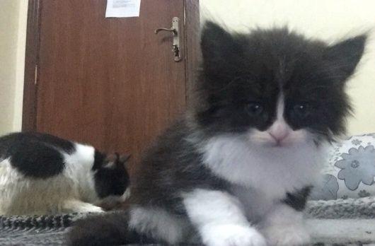 قطة شيرازيه جميلة مع 3 اولاد بالدمام للبيع 274