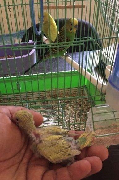 فراخ بادجي هولندي للبيع لهواة طيور الحب  291
