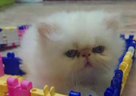 قطة شيرازي وقط هيملايا للبيع  310