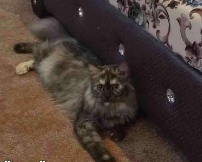 قطة شيرازي للبيع 312
