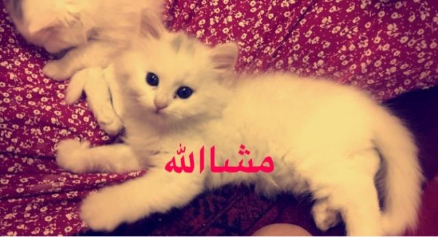قطط للبيع النوع شيرازي امريكي  اللون ابيض  39617c10