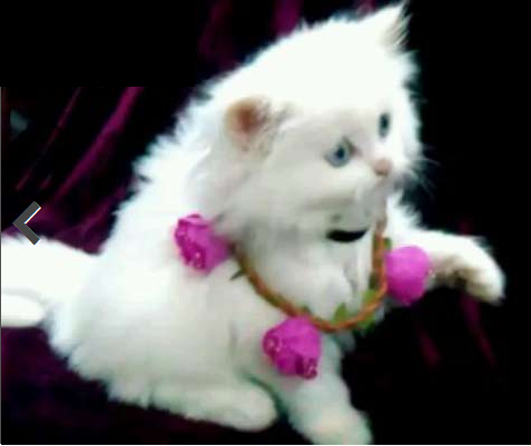 قطة شيرازي وقط هيملايا للبيع  410