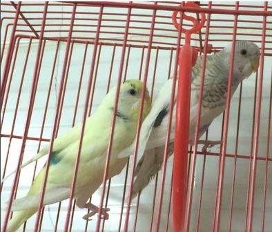 طيور حب استرالي للبيع بالرياض 411